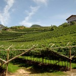 Mezzacorona_vineyards 2