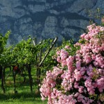 17_Roses and vineyards at Mezzacorona 2