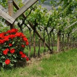 17_Roses and vineyards at Mezzacorona 3